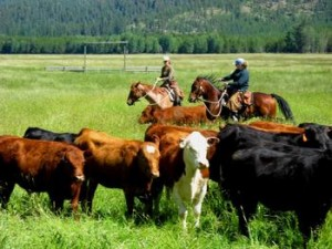 Dudes and wranglers herd cattle at the McGuinness Ranch